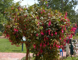 Mass Fushia tree