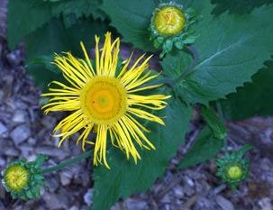 Mass Yellow Flower - 2