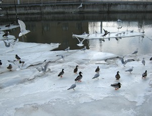 Ducks and seagulls in Yonkers Feb. 2014_reduced image