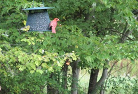1. Birds at the feeder August 2014