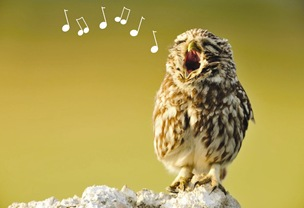 singing owl