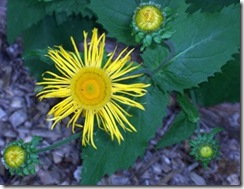 massyellowflower2_thumb